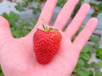 开心果园绿色草莓采摘园