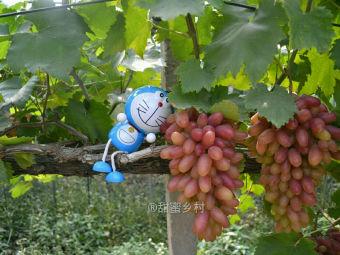丁庄葡萄甜蜜乡村采摘园