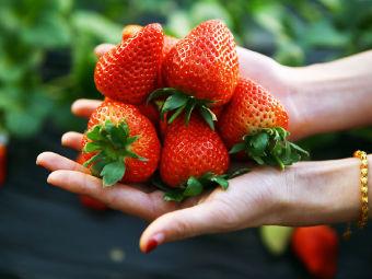 无公害奶油草莓采摘园