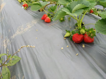 逸富冬草莓专业合作社