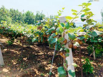 曌康猕猴桃采摘基地