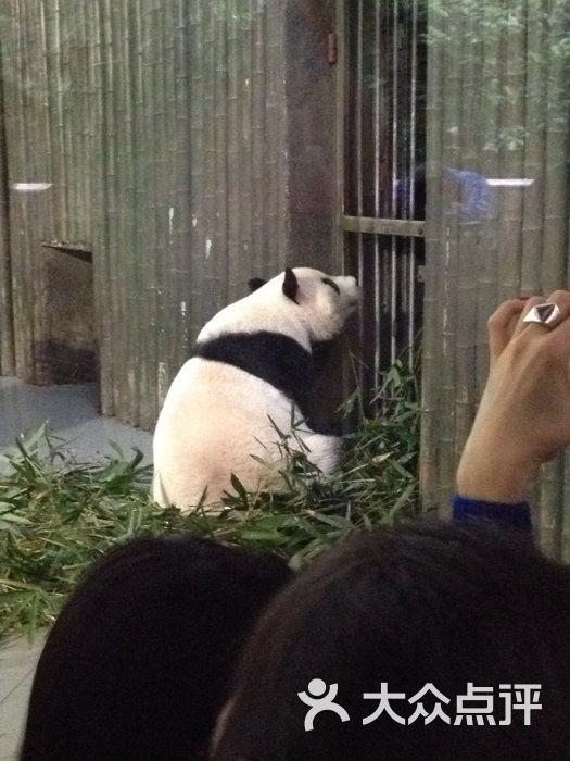 壁纸 大熊猫 动物 525_700 竖版 竖屏 手机