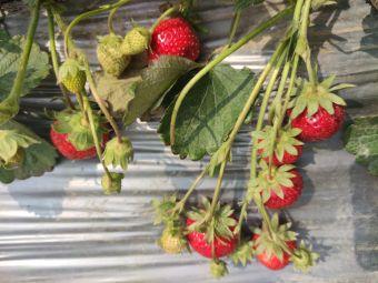 自选草莓园