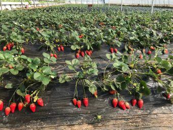 红石崖丰乐草莓蓝莓观光园
