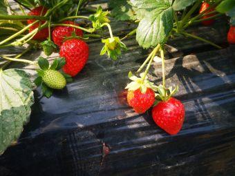 龙江草莓葡萄园