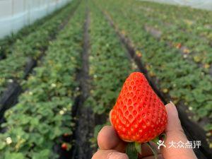 欣鑫源草莓采摘基地