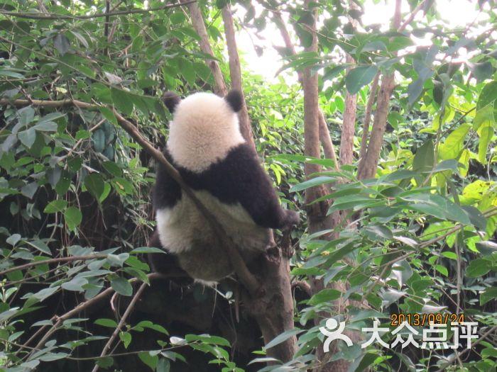 大熊猫繁育研究基地-熊猫的背影图片-成都景点-大众