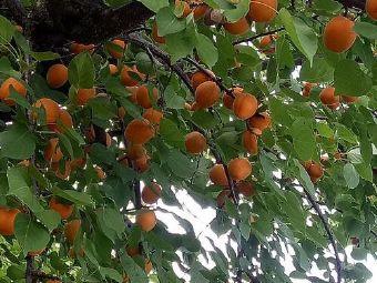妙杏生态农庄