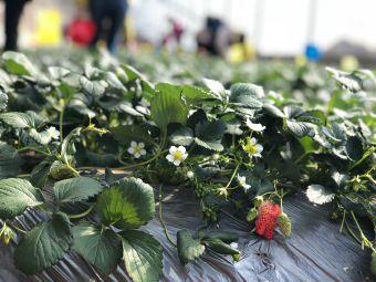 幸福农庄草莓采摘生态园