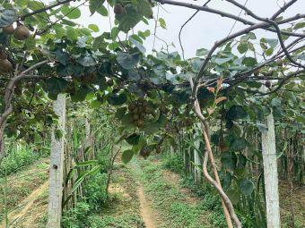 台湾红心火龙果采摘园