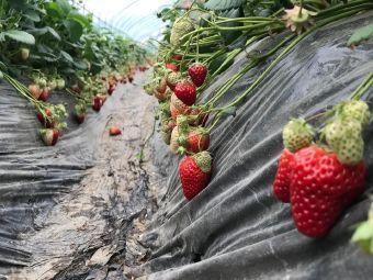大龙口草莓园