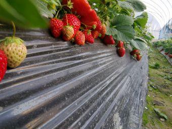 南湖奶油草莓园
