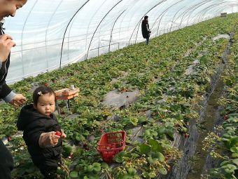 春华秋实草莓采摘园