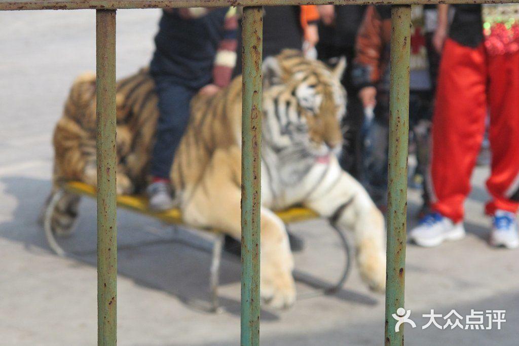 海沧野生动物园-老虎图片-厦门景点-大众点评网