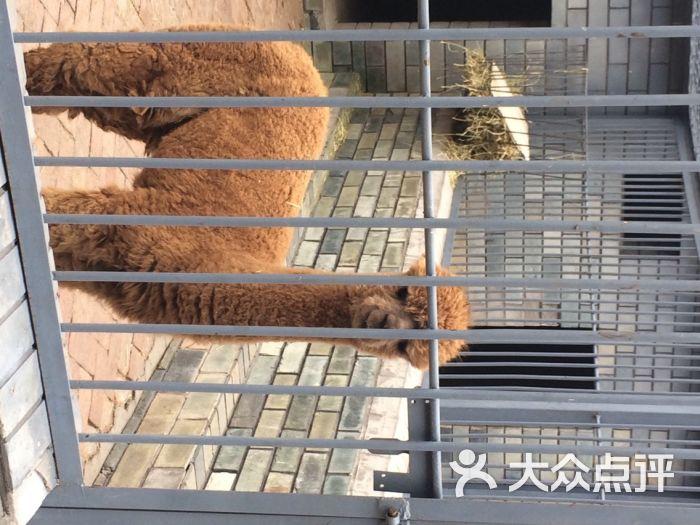 动物园的羊驼驼