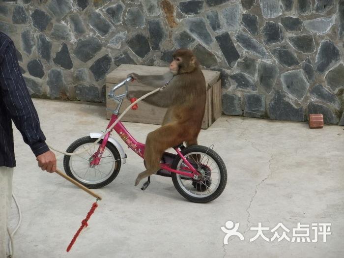 七渡花果山 猴子骑自行车图片 北京景点图片