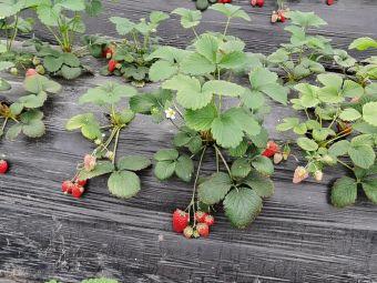 香蜜草莓园