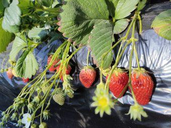 阅海草莓小镇采摘基地