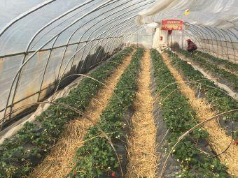 宏图庄园草莓采摘