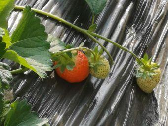 前杜草莓采摘乐园