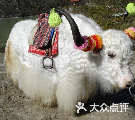 沈阳中山公园动物园中的牦牛