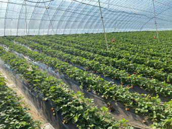 法台草莓采摘园