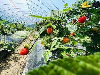 齐天农场樱桃种田红树莓采摘