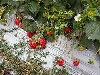 客家佬生态草莓园