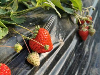 万果葡萄园老顾有机草莓