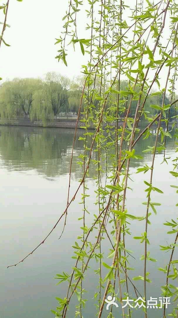 壁纸 垂柳 风景 柳树 摄影 树 桌面 607_1080 竖版 竖屏 手机