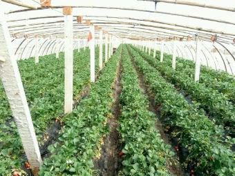 盛达草莓采摘