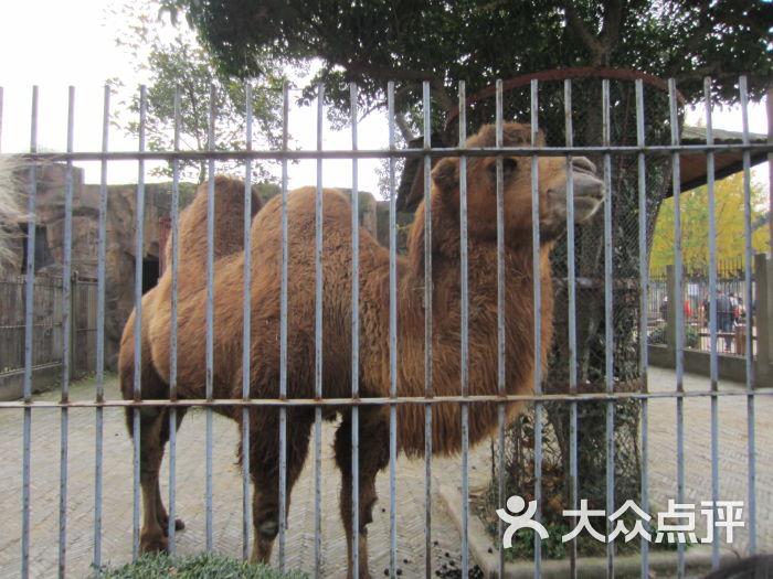 苏州动物园-双峰骆驼图片-苏州景点-大众点评网