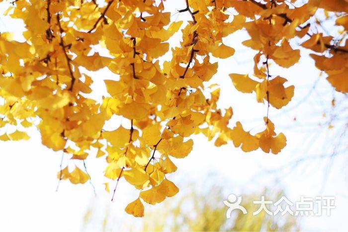 背景 壁纸 绿色 绿叶 树叶 银杏 银杏树 银杏叶 植物 桌面 700_467