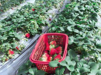 古庄牛草莓采摘园