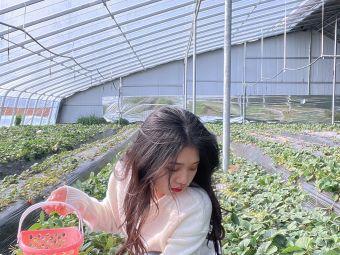 百灵草莓采摘园