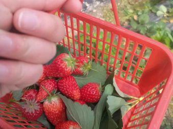 马鞍镇中学旁草莓园
