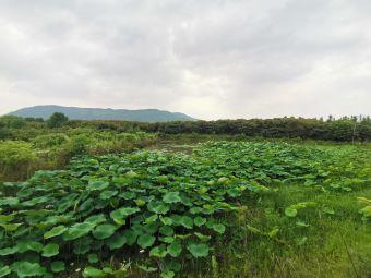 南京溧水秋湖枇杷园杨梅园