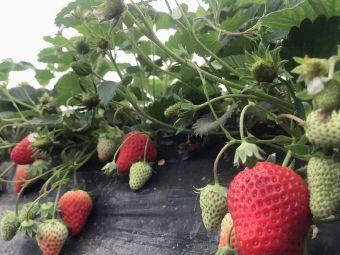 莓想到草莓采摘园