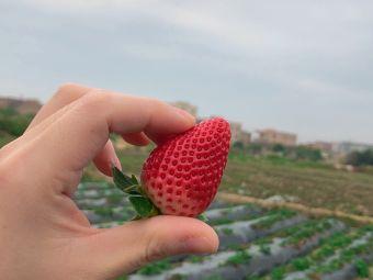 西滨草莓采摘园