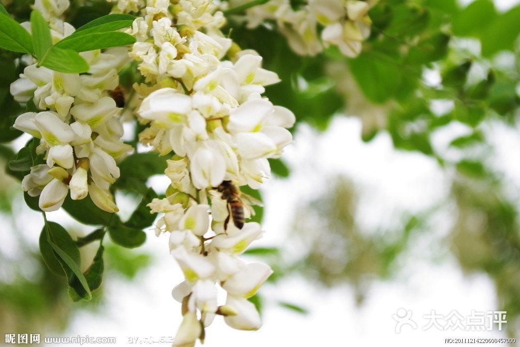 纯天然槐花蜂蜜-洋槐花图片-郑州美食-大众点评网