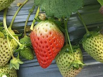 闻集草莓采摘园