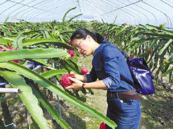 河津市满堂红火龙果种植基地