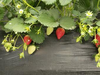 绿康草莓采摘基地