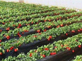 甜宝草莓采摘园