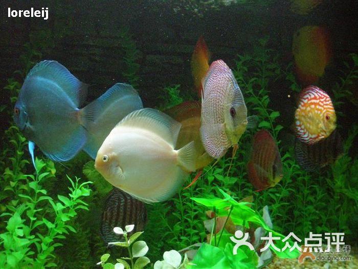 上海黑鲳鱼价格为啥龙吃虾的时候吃不进去? 上海龙鱼论坛 上海龙鱼第2张