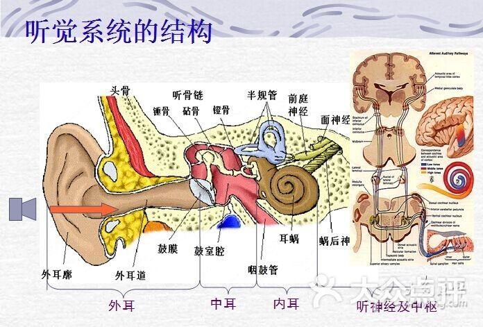 耳朵结构图
