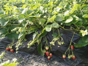 农香浓草莓采摘园