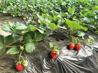 嵇家奶油草莓采摘基地