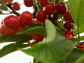老六樱桃采摘园