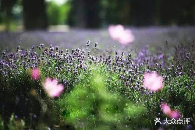 紫海蓝山薰衣草庄园图片 - 第11张